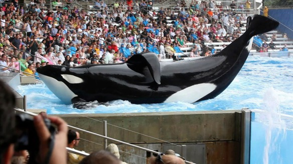 Tilikum performing.